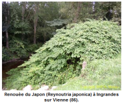 Renouée du Japon (source : Site Internet de l'ORENVA)